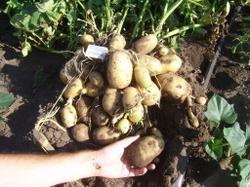 наша картошка последнего урожая