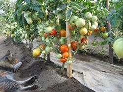 фото укрытой плёнкой почвы на гряде с помидорами